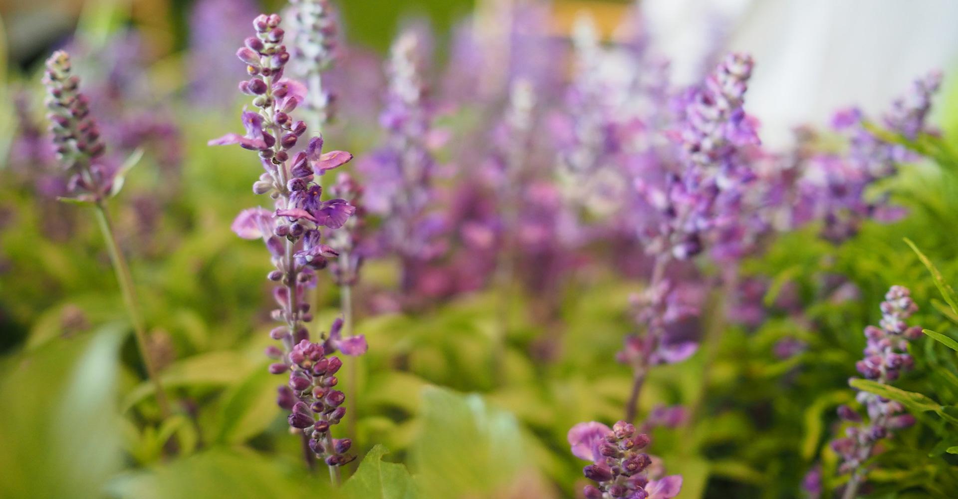 michelin-lavender